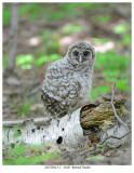 20170612-1  3160  Barred Owlet.jpg