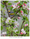 20170519-1 2815 Golden-winged Warbler2.jpg