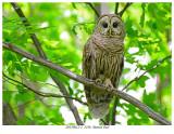 20170612-2  3236  Barred Owl.jpg