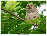 20170613  4549  Barred Owlet.jpg