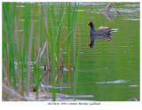 20170610  2390  Common Moorhen -Gallinule.jpg