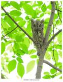 20170602-1  0691 Eastern Screech Owl.jpg