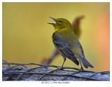 20170517-1 2396 Pine Warbler.jpg