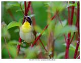 20170519-2 3027 Common Yellowthroat.jpg