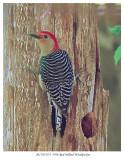 20170519-3 3598 Red-bellied Woodpecker2r1.jpg