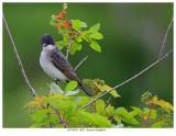20170623  4621  Eastern Kingbird.jpg