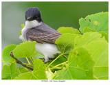 20170623  5164  Eastern Kingbird.jpg