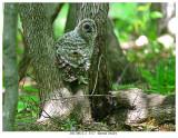20170612-2  3377  Barred Owlet.jpg