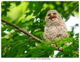 20170613  4554  Barred Owlet.jpg