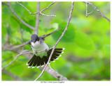 20170623  4946 Eastern Kingbird.jpg
