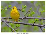 20170511 9496 Yellow Warbler xxx.jpg