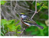 20170603  1580  Chestnut-sided Warbler.jpg