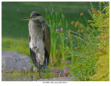 20170809  8406  Great Blue Heron.jpg