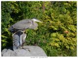 20170809  8257  Great Blue Heron.jpg
