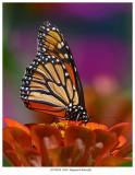 20170818  9418  Mopnarch Butterfly.jpg