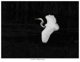 20170805  7900 Great Egret.jpg