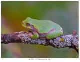20170909-1  5553 SERIES -  Eastern Gray Tree Frog.jpg
