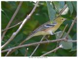 20170906  1162  Bay-breasted Warbler.jpg