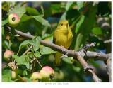 20170901  0651  Yellow Warbler.jpg