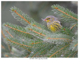 20170901  0848  Cape May Warbler.jpg