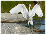 20170923  2314  Great Egret c1.jpg