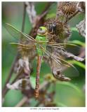 20170906  1362 Green Darner Dragonfly.jpg