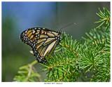 20170901  0971  Monarch.jpg