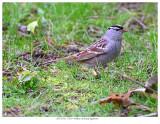 20170513  0519  White-crowned Sparrow.jpg