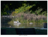 20170923  227  Great Egret.jpg