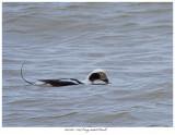 20171103  7324Long-tailed Duck.jpg