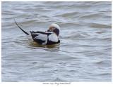 20171103  7394 Long-tailed Duck.jpg