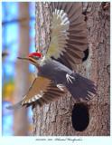 20171106  7625  Pileated Woodpecker 2r2.jpg