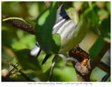 20171107  7872  Black-throated Gray Warbler.jpg