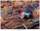 20171107  7852  Pileated Woodpecker.jpg