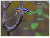 20171103  7038  Red-breasted Nuthatch.jpg