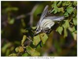 20171115  8114  Black-throated Gray Warbler.jpg