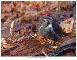20171107  7827  Pileated Woodpecker.jpg