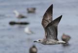 Large gulls