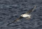 Skuas, Terns and Gulls