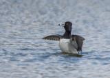 Ringsnaveleend - Ring-necked Duck