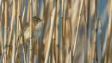 Kleine Karrekiet - Reed Warbler