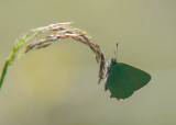Groentje - Green Hairstreak