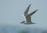 Lachstern - Gull-billed Tern