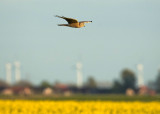 Steppekiekendief - Pallid Harrier