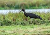 Zwarte Ooievaar - Black Stork