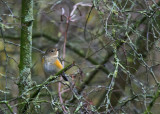 Red-flanked Bluetail - Blauwstaart