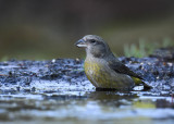 Kruisbek - Common Crossbill