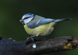 Pimpelmees - Blue Tit