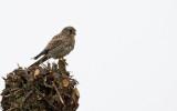 Torenvalk - Common Kestrel