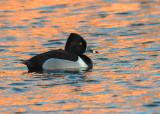 Ring-billed Duck - Ringsnaveleend